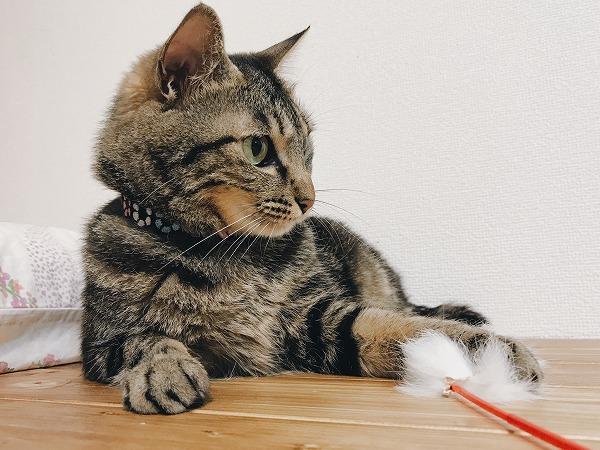 猫じゃらしを前足で押さえつけているキジトラ猫
