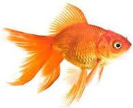 "Jenis Ikan koki Fantail "" Ekor Kipas "" kuning"