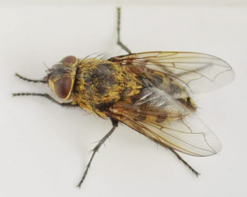 bristol fly control - cluster fly