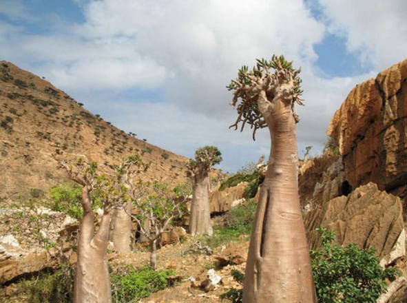 Pohon Dorstenia Socotra