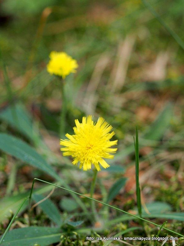 żółte kwiatki, las, kosmate listki, male kwiaty,