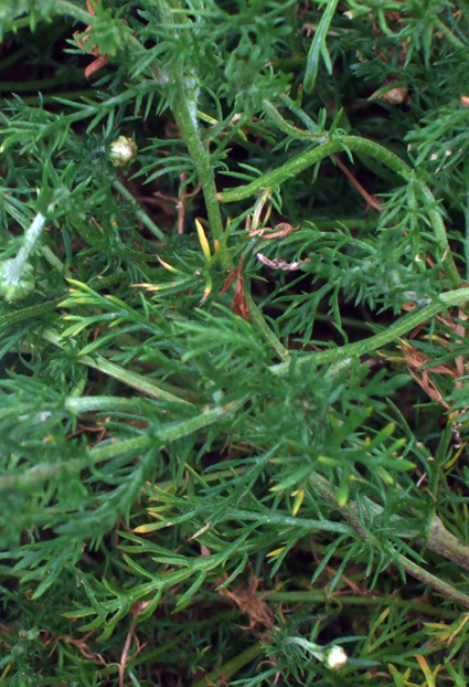 A bad witch's blog: Magical Plants and Herbs: Chamomile