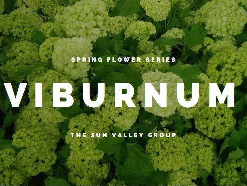 Spring Flower Series Sun Valley