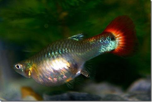 Cách nuôi cá bảy màu