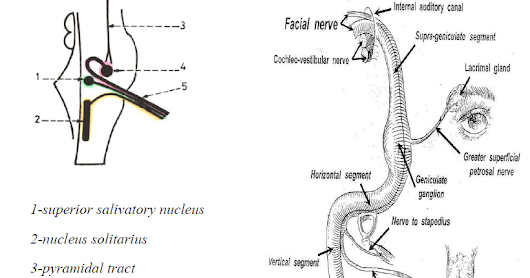 Facial nerve anatomy, course and branches