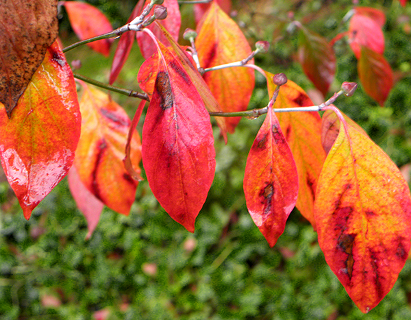 Red and Yellow Dogwood Leaves