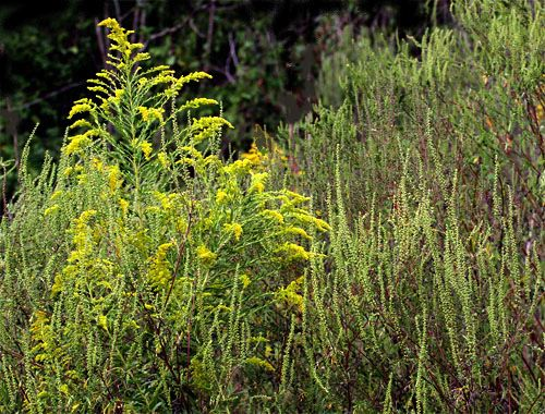 Hudson Allergy Tribeca Ragweed Causes Allergies What you need to know!