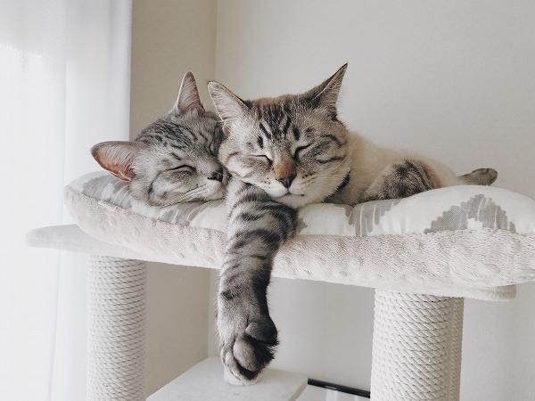 サバトラ兄の前足を枕にして眠るシャムトラ弟