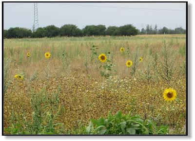 Wiese mit Sonnenblumen