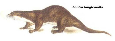 Lobito de río Lontra longicaudis