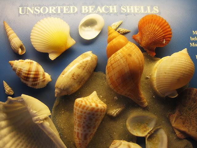 Sanibel Island Seashells belong to the Phylum Mollusca.