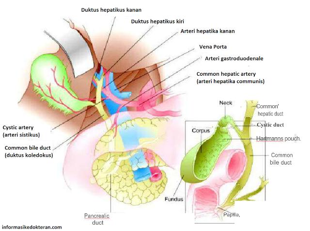 Gambaran anatomi kandung empedu, duktus hepatikus kanan kiri, arteri hepatika kanan, vena porta, arteri gastroduodenale, arteri hepatika komunis, common hepatic artery, corpus, fundus , common bile duct, Hartmanns;s pouch ,kantong. arteri sistikus, cystic artery, pancreatic duct, duktus pankreatikus, papilla, duktus sistikus, common hepatic duct