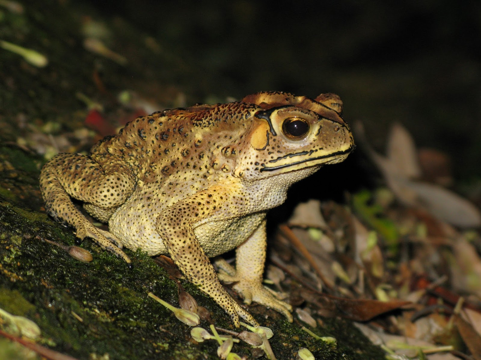 Amphibians: Bufo melanosticus