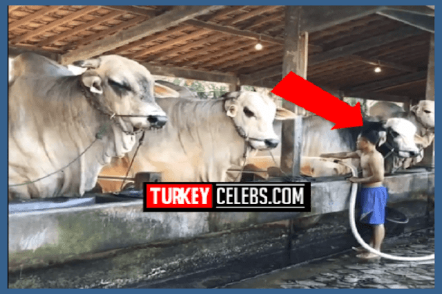 Over sized cows in indonesia
