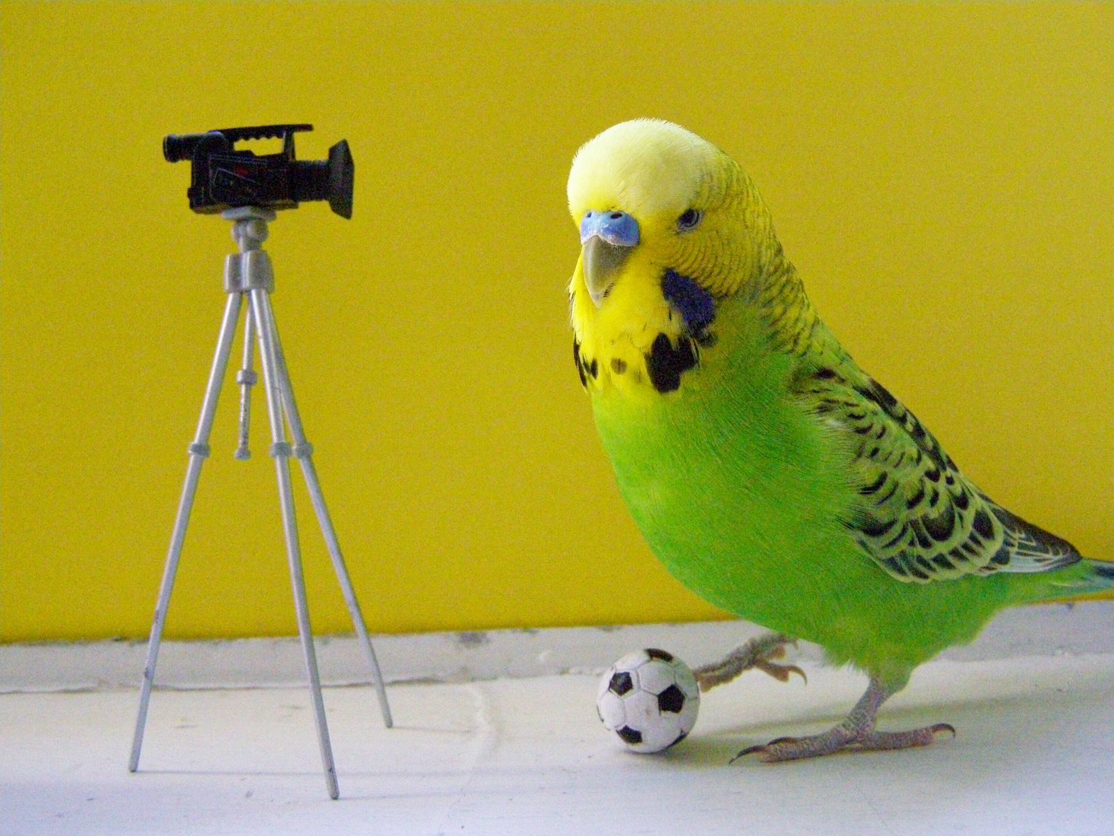Funny Budgies Nice Pictures 2012  Pets Cute and Docile