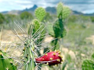 Kolczasty kaktus fico di india