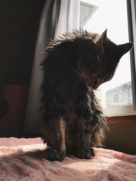 窓辺のテーブルの上で毛づくろいしているキジトラ猫