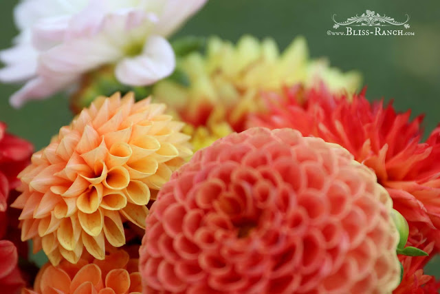 Dahlia Flowers, Bliss-Ranch.com