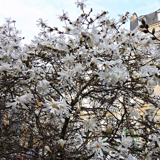 Magnolia stellata blanc - Paris