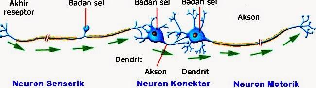 jenis neuron dengan fungsi yang saling terhubung satu sama lain Macam-Macam Jenis Neuron Serta Fungsinya
