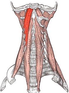 longus capitis muscle,