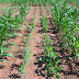 Intercropping - Types and Advantages