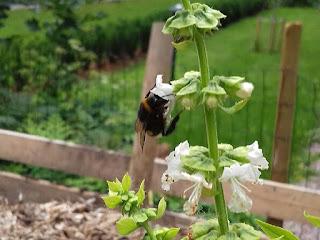 kimalainen basilika pölyttäjä puutarha ekologinen