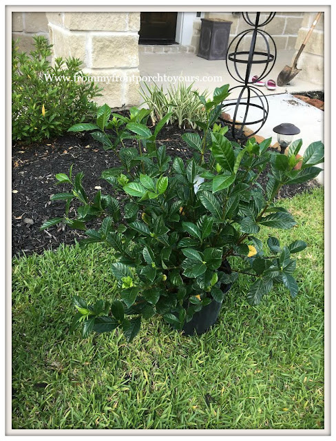 Landscape--10 Gallon-Gardenias-From My Front Porch To Yours