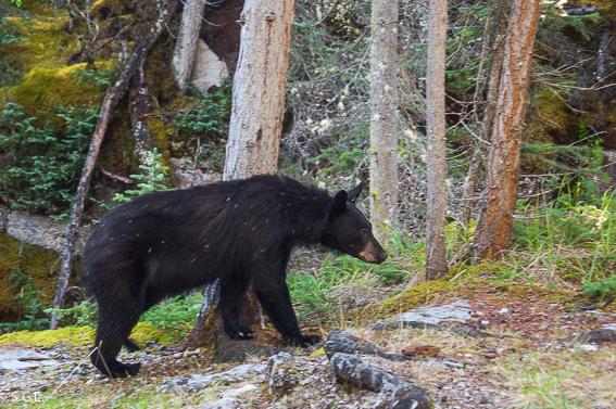 Oso negro en las montañas rocosas en Canada
