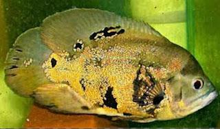 Jenis Ikan Oscar dan Harganya, Oscar Wild Argentina