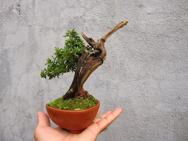 Bonsai Mini đẹp Hướng Dẫn Trồng đung Cach Cay Cảnh đẹp