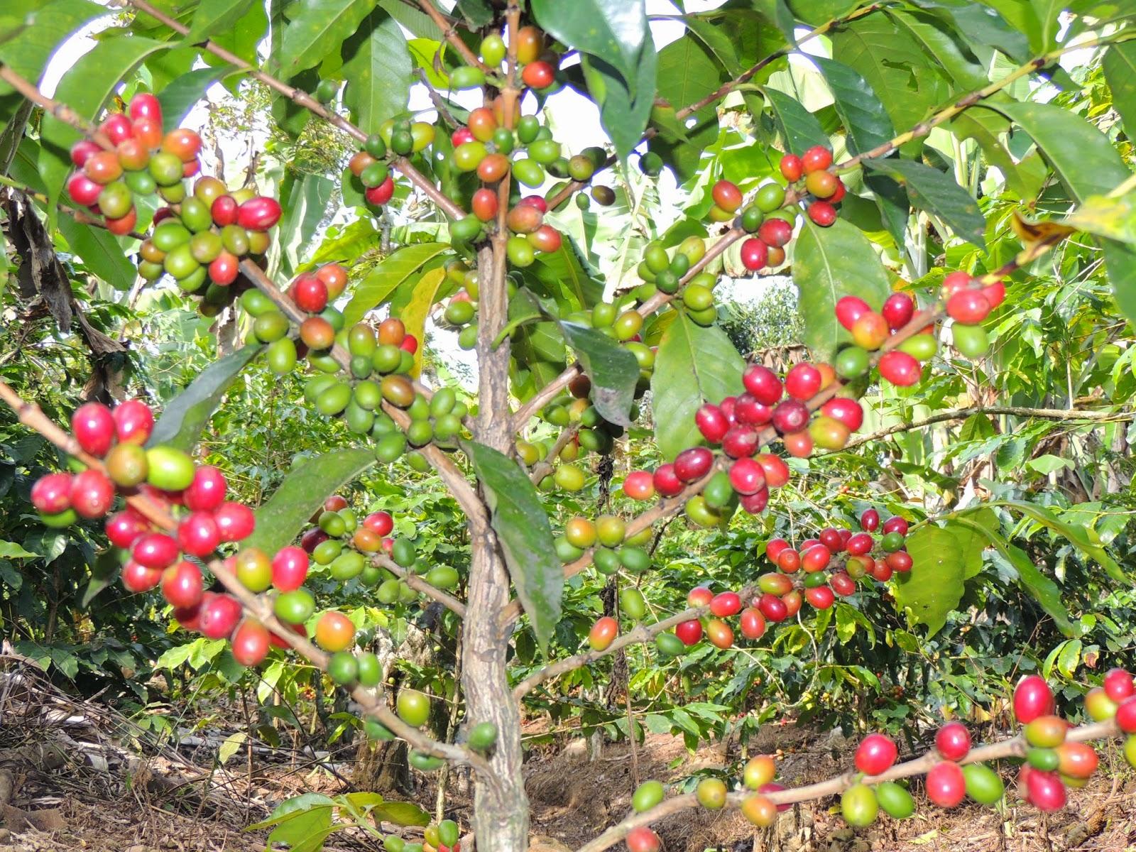 cómo llegó el café a sudamérica licor de café cafres