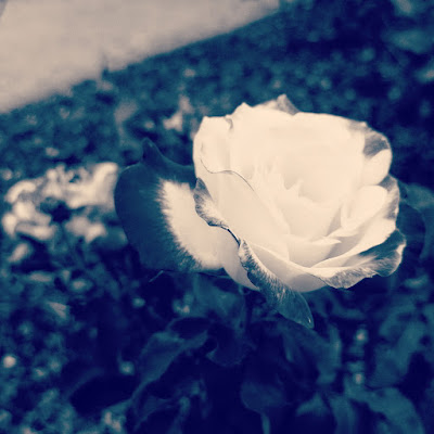 White Rose in vintage colour photo by sue wellington