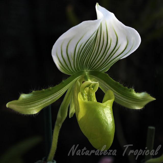 Variedad preciosa de una orquídea del género Paphiopedilum