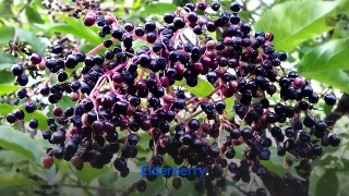 Elderberry The elderberry flower has antiviral properties which enable it to fight infections like colds and fever.