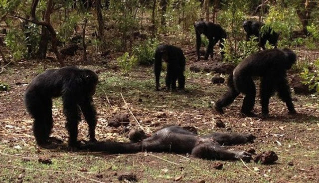 Chimps' behaviour following death disturbing says anthropologist