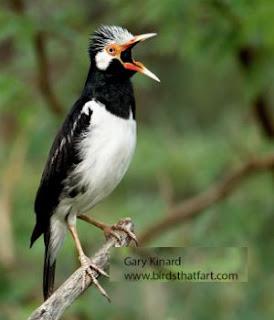 Suara Jalak Suren Sumatra