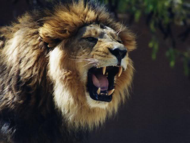 Wallpaper Lion Roar Hd Wallpaper: Funny Animals Funny Pictures: Lions Roaring Funny Pictures