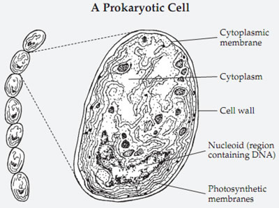 procaryotic cell