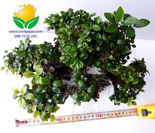 Lũa bonsai thủy sinh cột ráy nana 1500