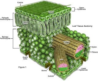 struktur dan fungsi jaringan tumbuhan dan hewan