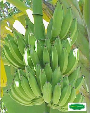 astuces pour r ussir une plantation de banane plantain. Black Bedroom Furniture Sets. Home Design Ideas
