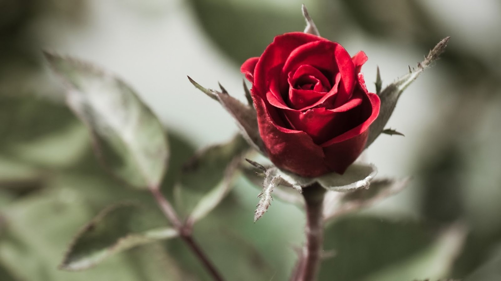 100 Red Rose Wallpapers Hd And 4k Resolution Download 1920x1080