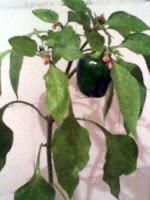 ardei gras cultivat in ghveciul din bucatarie