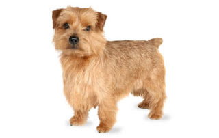 Everything about your Norfolk Terrier