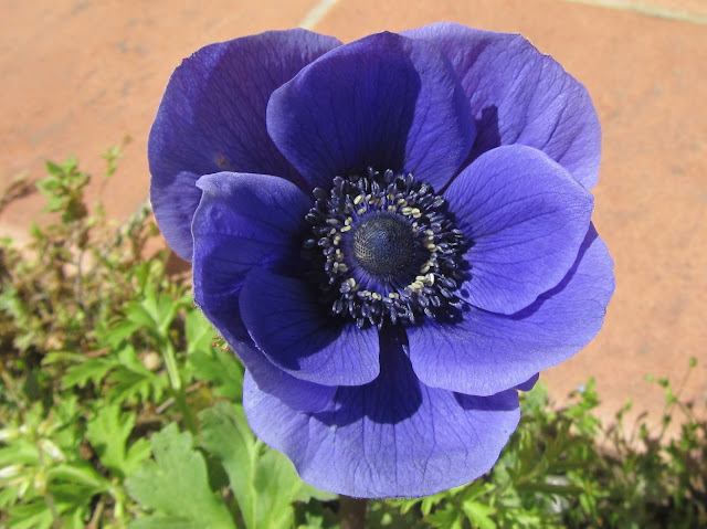 Anemone coronaria blu