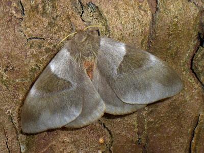 Dirphia avia female