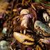 Captura do caranguejo-uçá está proibida em dez estados
