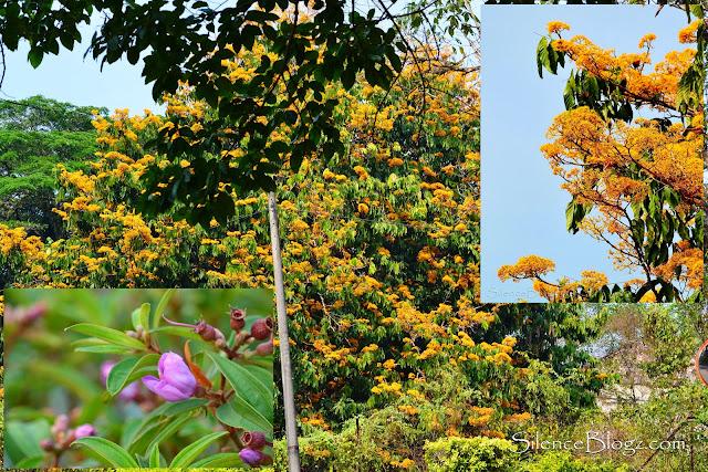 Pokok jenis berbunga juga menjadi sumber makanan dan tumpuan jenis Common Iora
