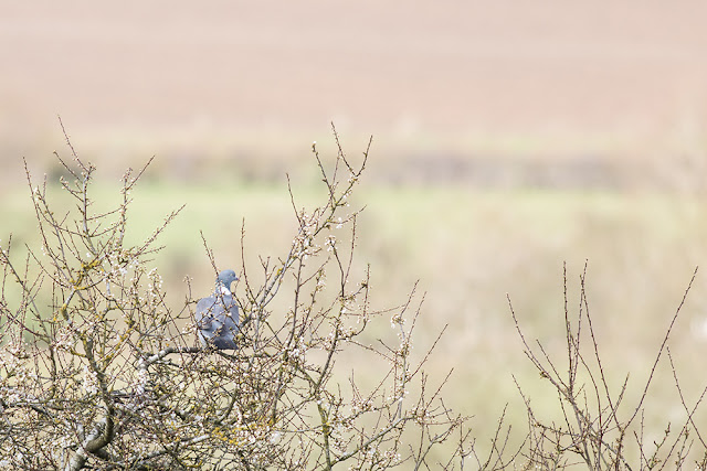 Wood pigeon in the blossom